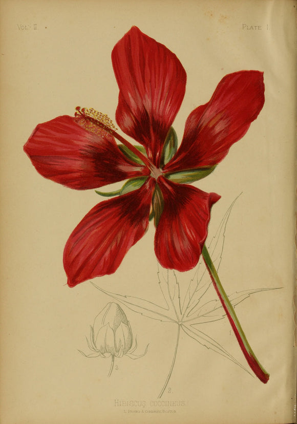 Botanical Print Of A Red Hibiscus