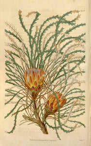 Botanical Print Of A Yellow-orange Dryandra