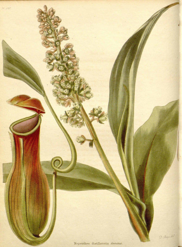 Botanical Print Of A Pitcher Plant