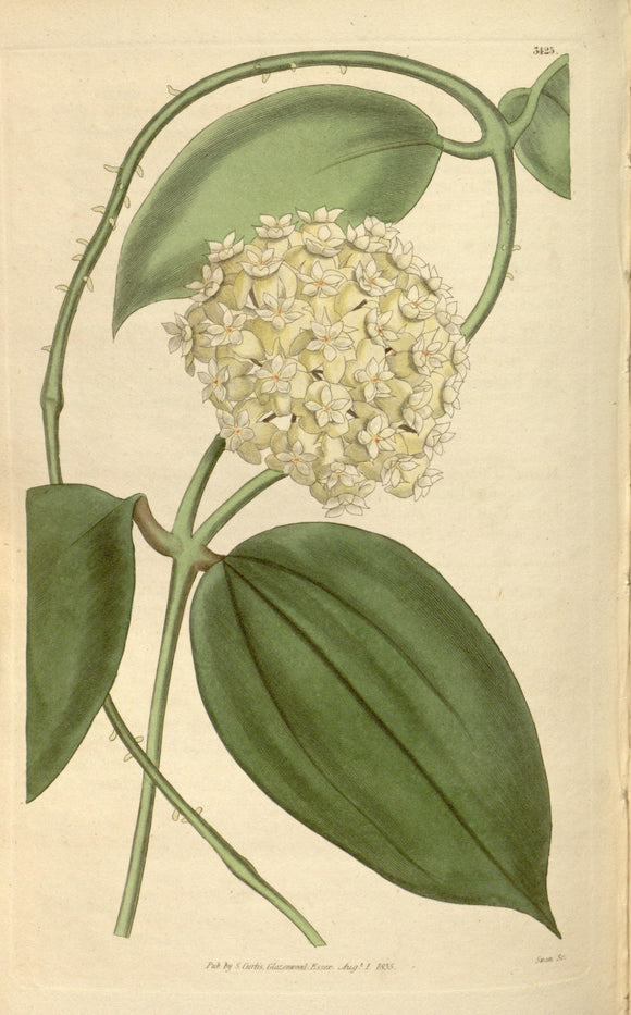 Botanical Print Of A White Flower Ball