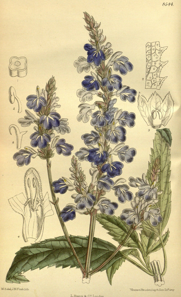 Botanical Print Of Blue Salvia