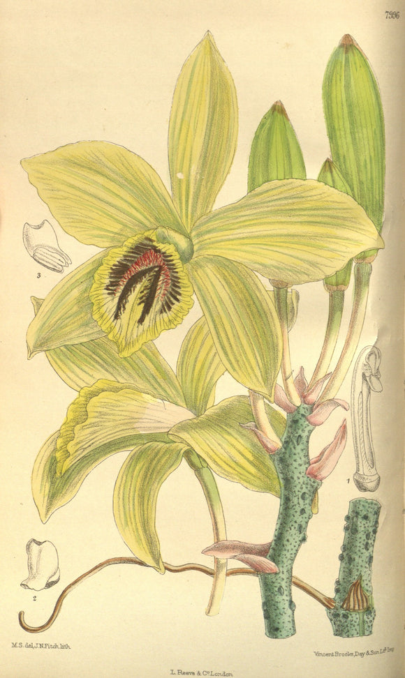 Botanical Print Of A Yellow And White Bloom