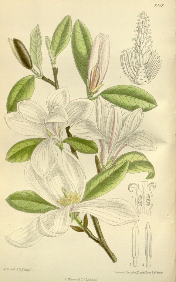 Botanical Print Of A White Magnolia