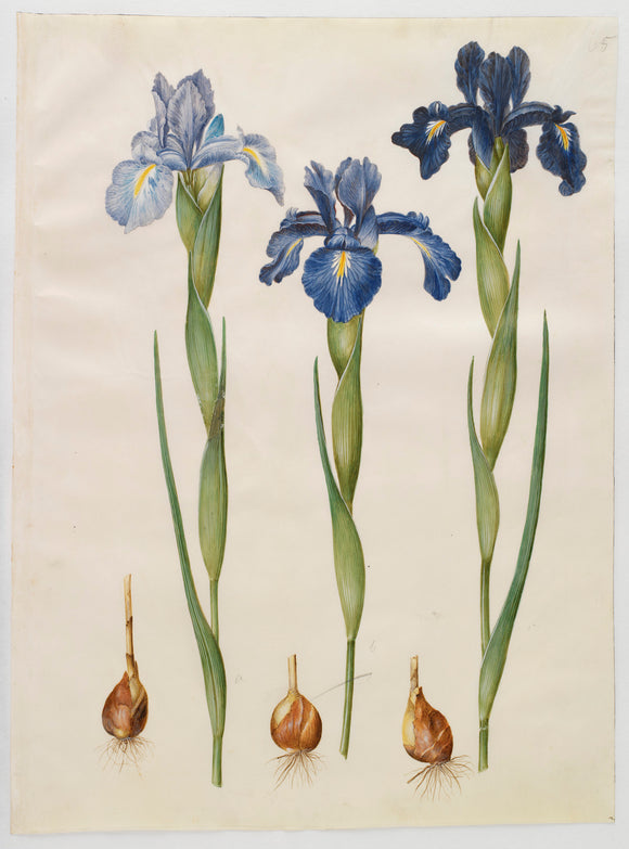 Botanical Print Of Blue Iris