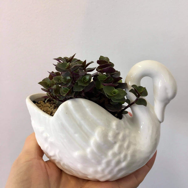 Planter with Live Callisia Bubbles | Medium Swan | Ceramic