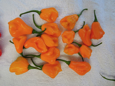 Scotch Bonnet Jamaican Long