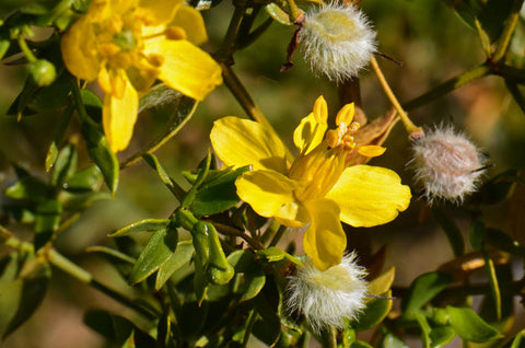 chaparral creosote flowers