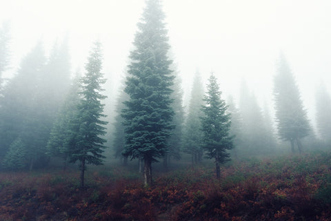 pine trees in a forest with dense fog and dormant ferns