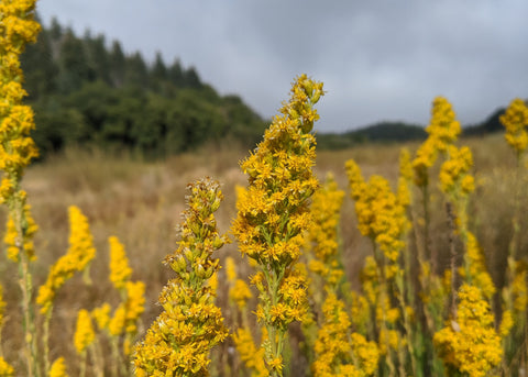 goldenrod in meadow