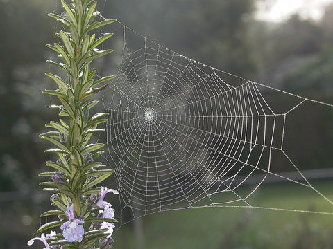 spiderweb on rosemary plant with purple flowers