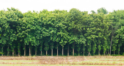 teak wood plantation forest