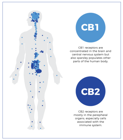 cb1 and cb2 receptors of the endocannabinoid system