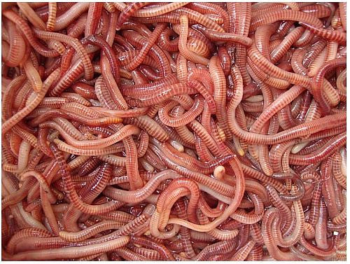 Dendrabena Worms, , Bankside Baits, Bankside Tackle