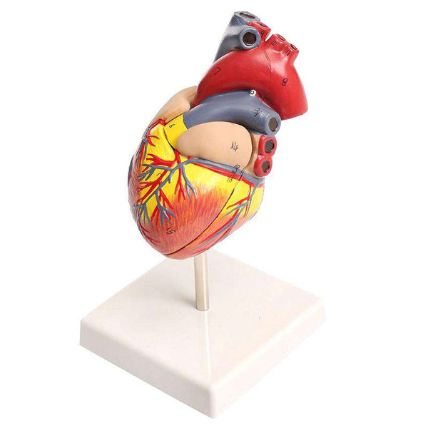 **22% Discount** Anatomical Human Heart Larynx Model
