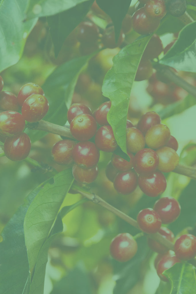 A close-up shot of coffee cherries.