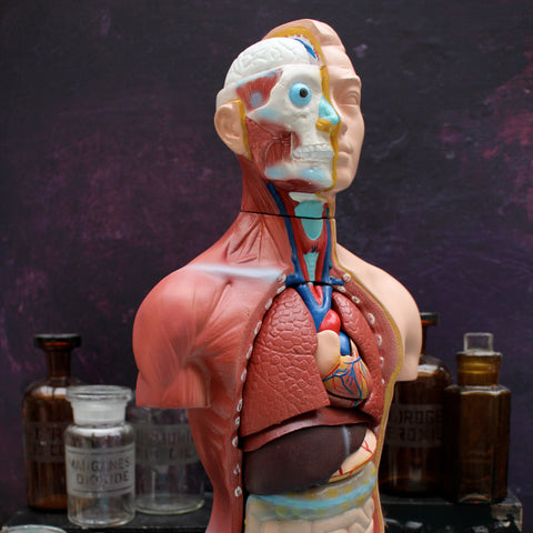Human Anatomical Model Torso 45cm