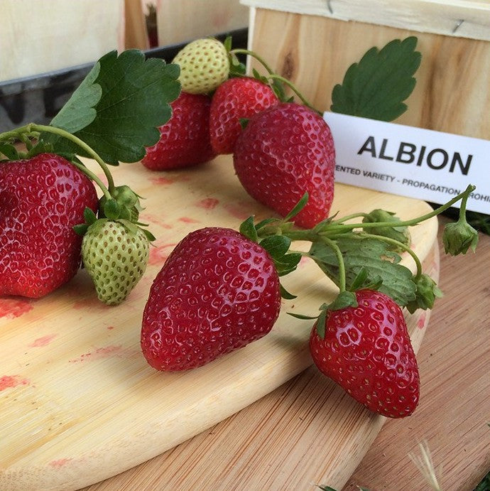 Albion Strawberry Plants