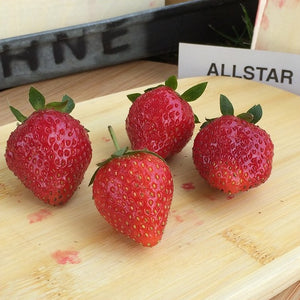 Allstar Strawberry Plants