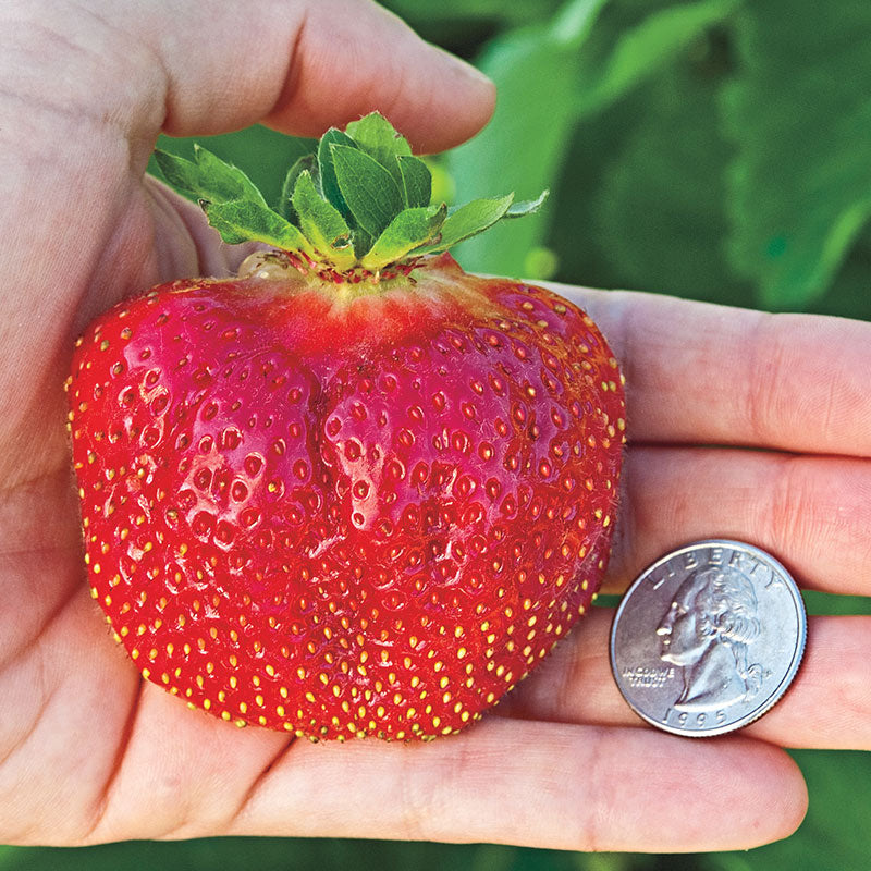 Cabot Strawberry Plants