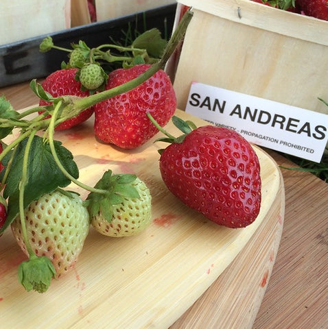 San Andreas Strawberry Plants