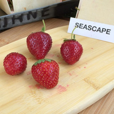Seascape Strawberry Plants