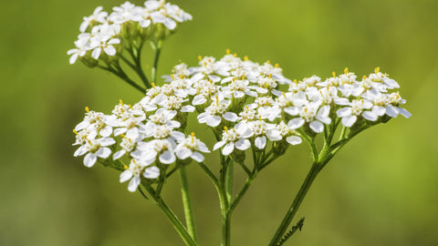Discover the Pain Relieving Secrets of Yarrow