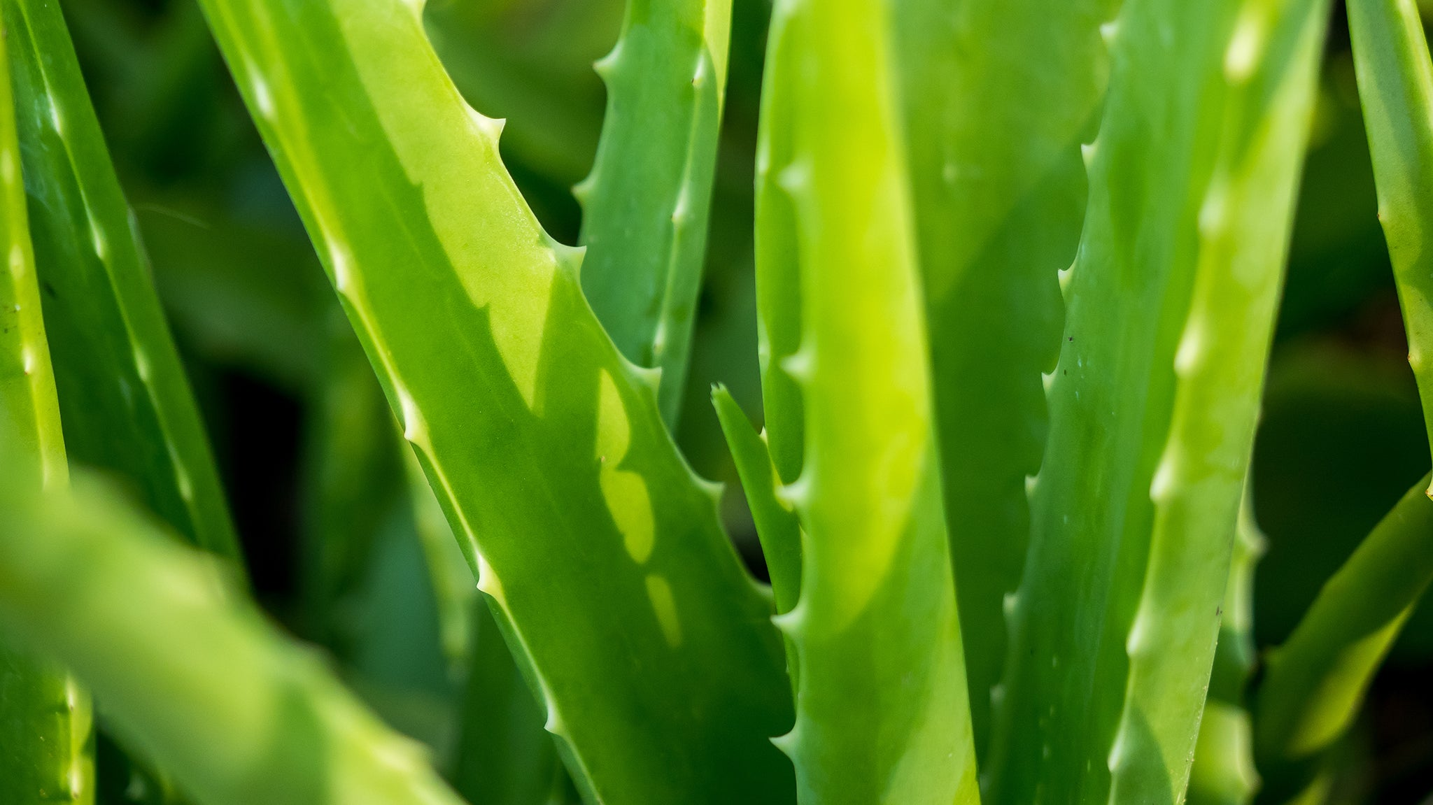 Discover the Little-Known Healing Powers of Aloe Vera