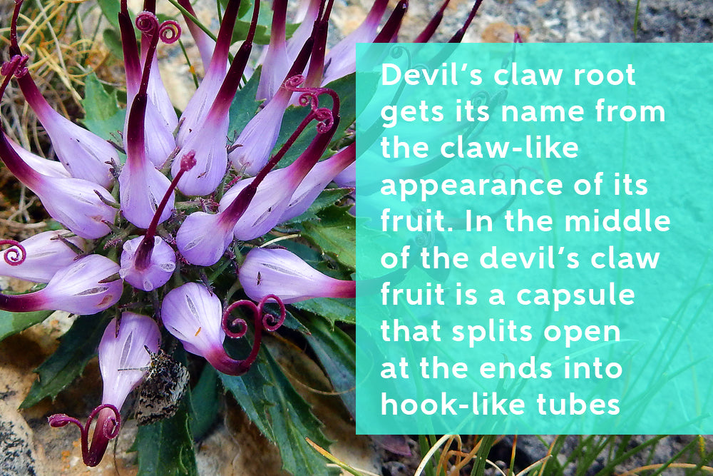 What Is Devil's Claw Root?