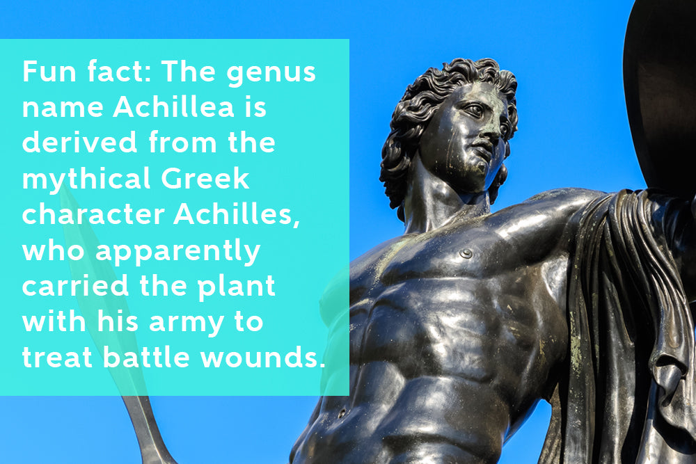 Achilles Carried Yarrow To Treat Battle Wounds