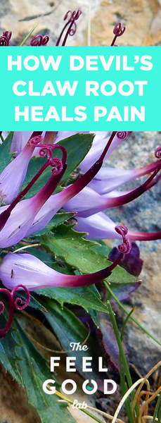 Does Devils Claw Plant Effective For Pain And Osteoarthritis?