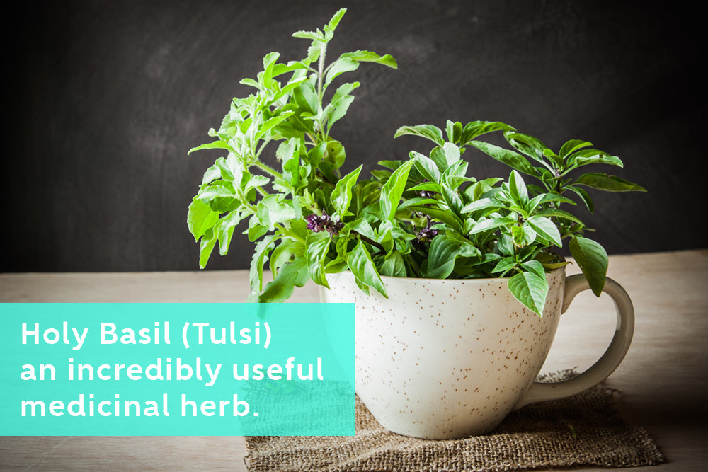 How to Grow Holy Basil Medicinal Herb