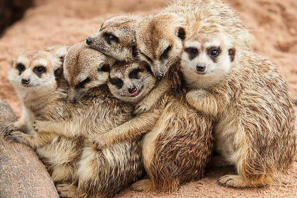 Do You Want to Know More About Meerkats?