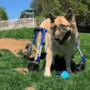 Wheels4Dogs Dog Wheelchair Walkin' Wheels Full Support/4-Wheel LARGE PetsOwnUs - Pets Own Us