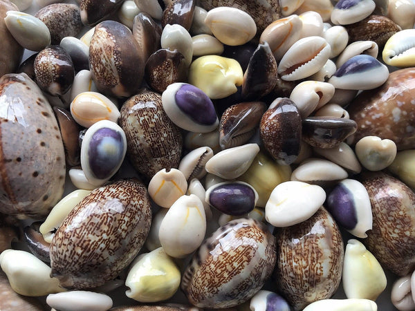 SHELLS MIX Cowrie  500g Small for craft, wedding, home, terrarium decoration - JagAquatics