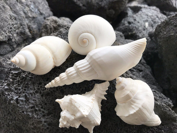 SHELLS MIX white 400g (4-9 cm) for craft, wedding, home, terrarium decoration