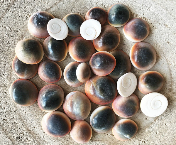 Shells CATSEYE 50g Small for craft, wedding, home, terrarium decoration - JagAquatics