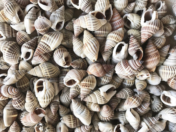 Shells NASSARIUS 50g Small for craft, wedding, home, terrarium decoration - JagAquatics