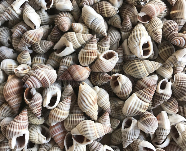 Shells NASSARIUS 50g Small for craft, wedding, home, terrarium decoration