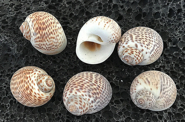 Shells Natica Tiger 50g for craft, wedding, home, terrarium decoration - JagAquatics