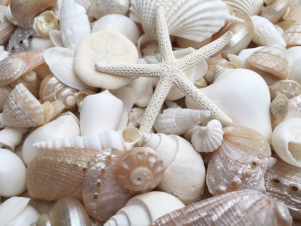 SHELLS White & Pearl 500 gr Small for craft, wedding, home, terrarium decoration