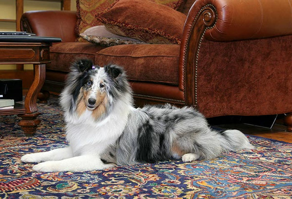 A dog sitting on a beautiful oriental rug from RugKnots.com