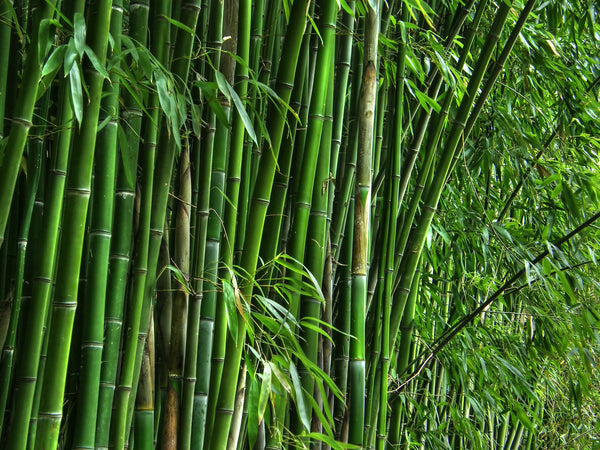bamboo; bamboo floors