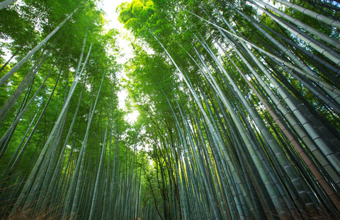 Bamboo forest with tall trees