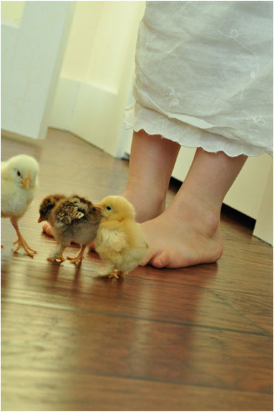 Chicks on the Farm