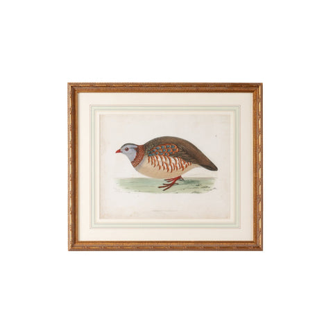 Morris Barbary Partridge