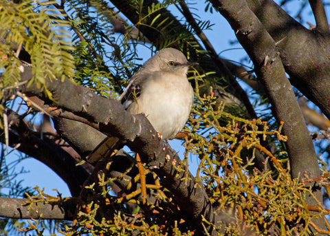 The Northern Mockingbird: Part One (Mimus polyglottos)