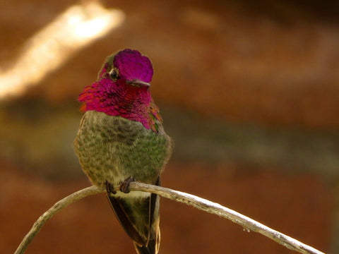 Anna's Hummingbird By Jon Friedman