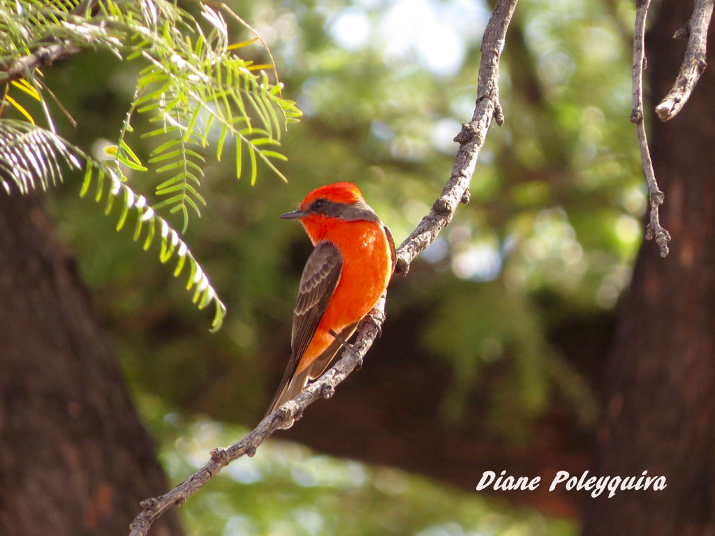 Vermilion Flycatcher by Jon Friedman