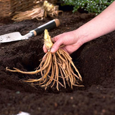 Everything You Need To Know About Planting Bare Roots