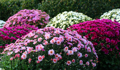 pink, purple and white chrysanthemums